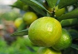 Natural Source of Citrus Aurantium