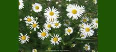 Natural Source of Chamomile