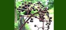 Natural Source of Elderberry