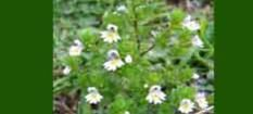 Natural Source of Eyebright Herb