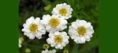 Natural Source of Feverfew