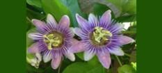 Natural Source of Passion Flower
