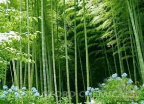 Natural Source of Bamboo Leaf