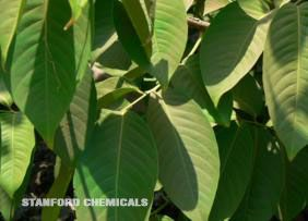 Natural Source of Banaba Leaf