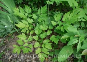 Natural Source of Black Cohosh