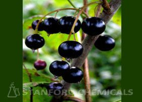 Natural Source of Black Currant