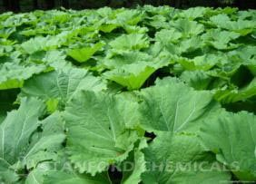 Natural Source of Butterbur