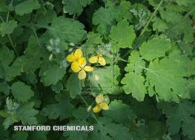 Natural Source of Celandine