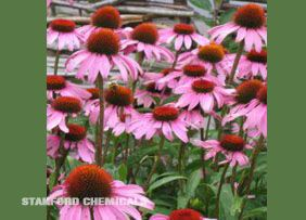 Natural Source of Echinacea