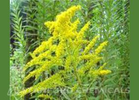 Natural Source of Golden Rod