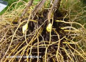 Natural Source of Golden Seal Root