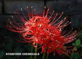 Natural Source of Lycoris Radiata Herb