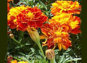 Natural Source of Marigold