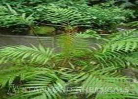 Natural Source of Osmunda Japonica Plant