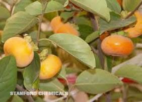 Natural Source of Persimmon Leaf