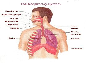 Respiratory Systems Herbal Extracts
